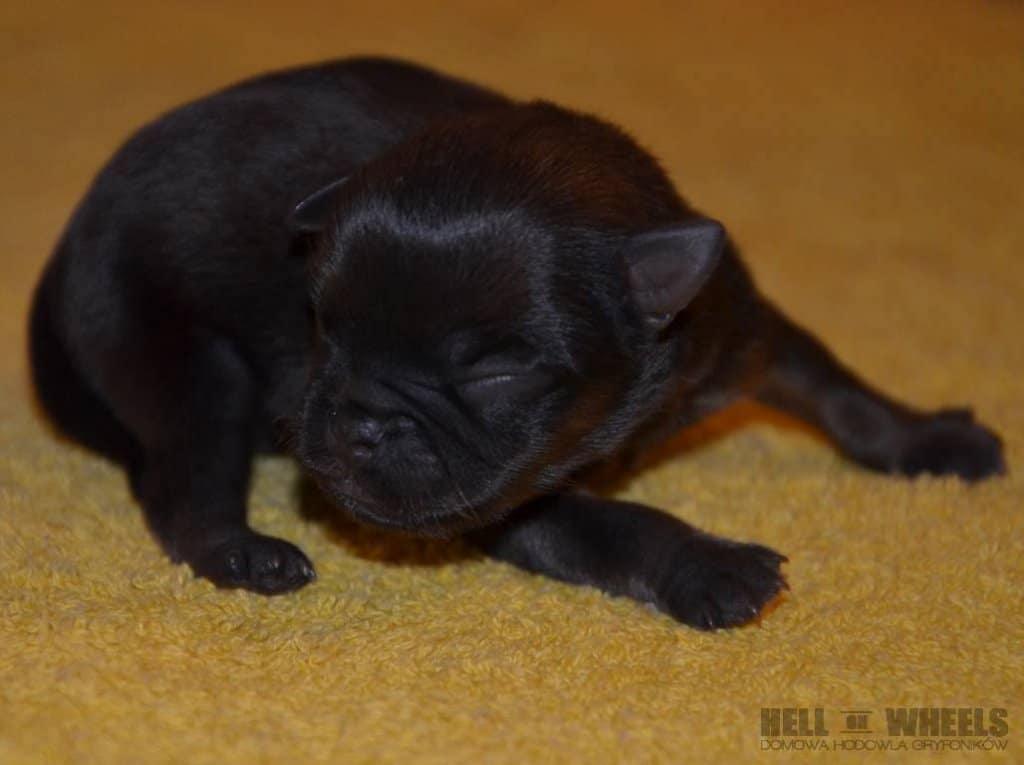 """Gryfonik belgijski szczeniak - Miot """"A"""""""
